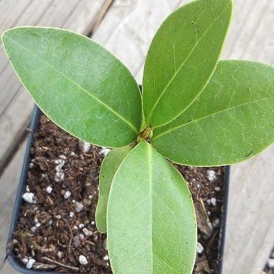 Starter Plant - Magnolia grandiflora - Southern Magnolia Tree in 2.5 inch Pot - Gardening - tkau : Garden & Outdoor