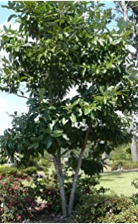 Sweet bay tree evergreen