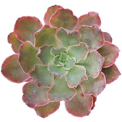 Echeveria Neon Breaker Succulents Neon Purple Plant (4 inch) : Garden & Outdoor