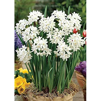 Amazon 10 ziva paperwhites flower bulbs 1415cm bulbs ziva paperwhite narcissus 5 bulbs 1516 cm bulbs indoorvery fragrant mightylinksfo