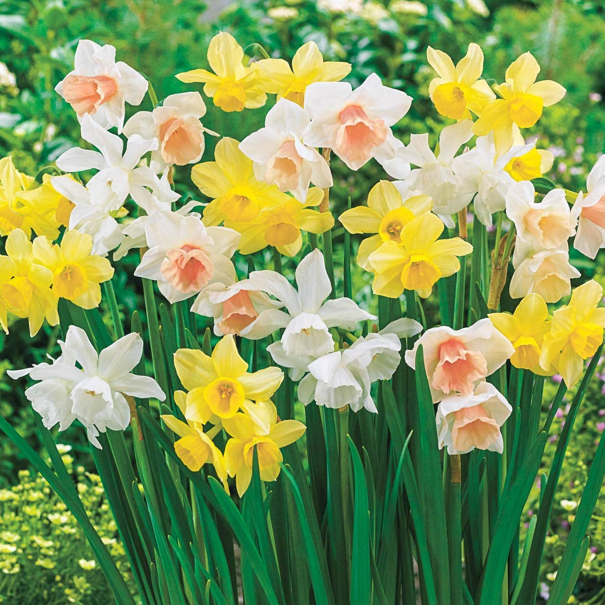 BRECK'S Three Months of Daffodils Spring Flowering Bulb Mixture -Includes 40 Bulbs per Offer