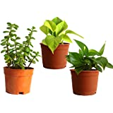 Rolling Nature Money Plant Golden Pothos and Jade Combo of Good Luck Plants