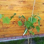 Weintrauben Pflanzen kernlos Vanessa Weinrebe winterhart