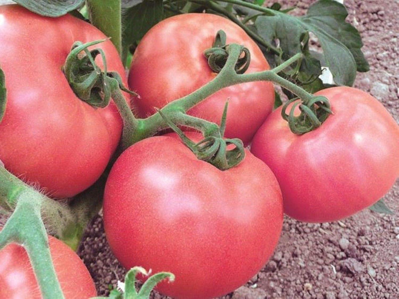 AGROBITS Las semillas vegetales de tomate Olympus rosa de ...