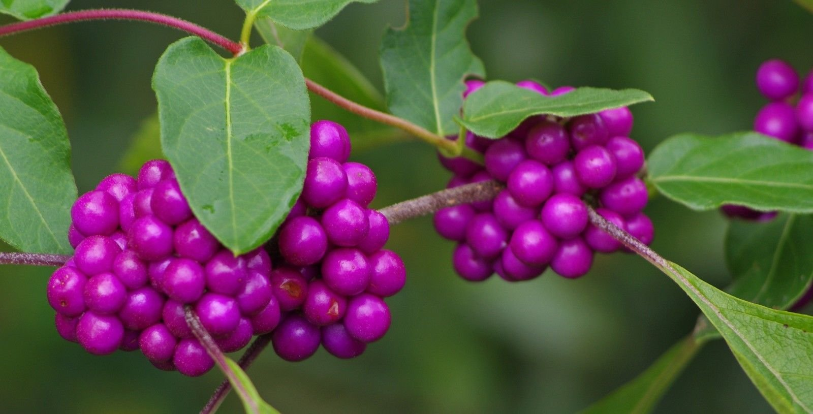 Beauty Berry Seeds, (Callicarpa americana) Grow Florida California Jam Jelly Fruit (7600 Seeds)