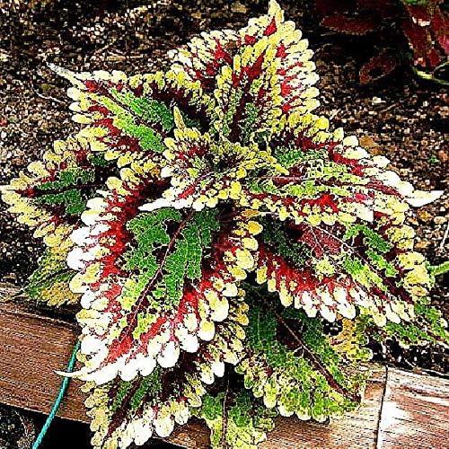 Shoopy Star Sweet Gum Tree 7 Seeds Liquidambar Bonsai Amazon Ca Patio Lawn Garden
