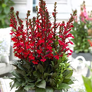 Lobelia Cardinalis Queen Victoria Fan Scarlet And Speciosa Fan