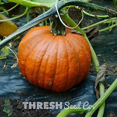 Small Sugar Squash - 25 Seeds : Garden & Outdoor