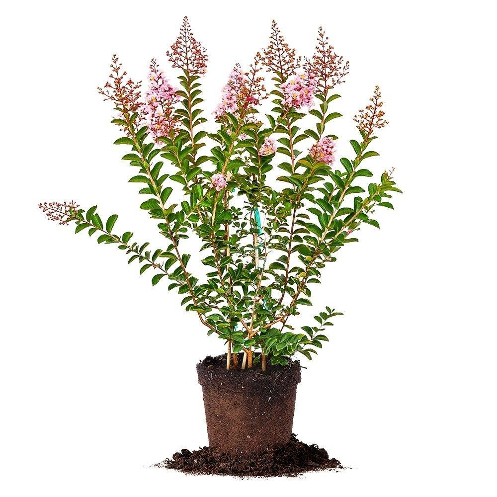 Sioux Crape Myrtle - Size: 4-5', Live Plant, Includes Special Blend Fertilizer & Planting Guide