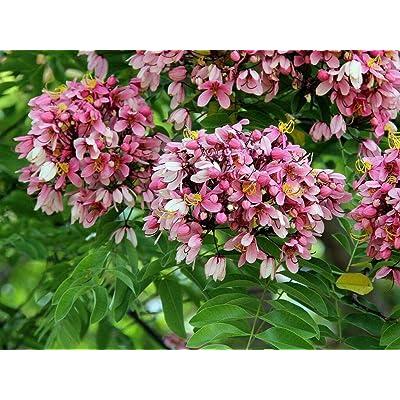 Cassia Nodosa - Pink & White - Rare Tropical Plant Tree Seeds (6) : Garden & Outdoor