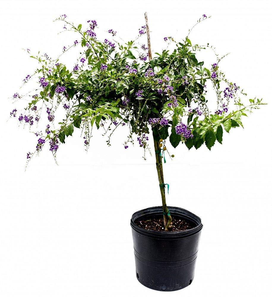 PlantVine Duranta erecta 'Sapphire Showers', Golden Dewdrop, Duranta Repens - Large - Large, Bush - 8-10 Inch Pot (3 Gallon), Live Plant