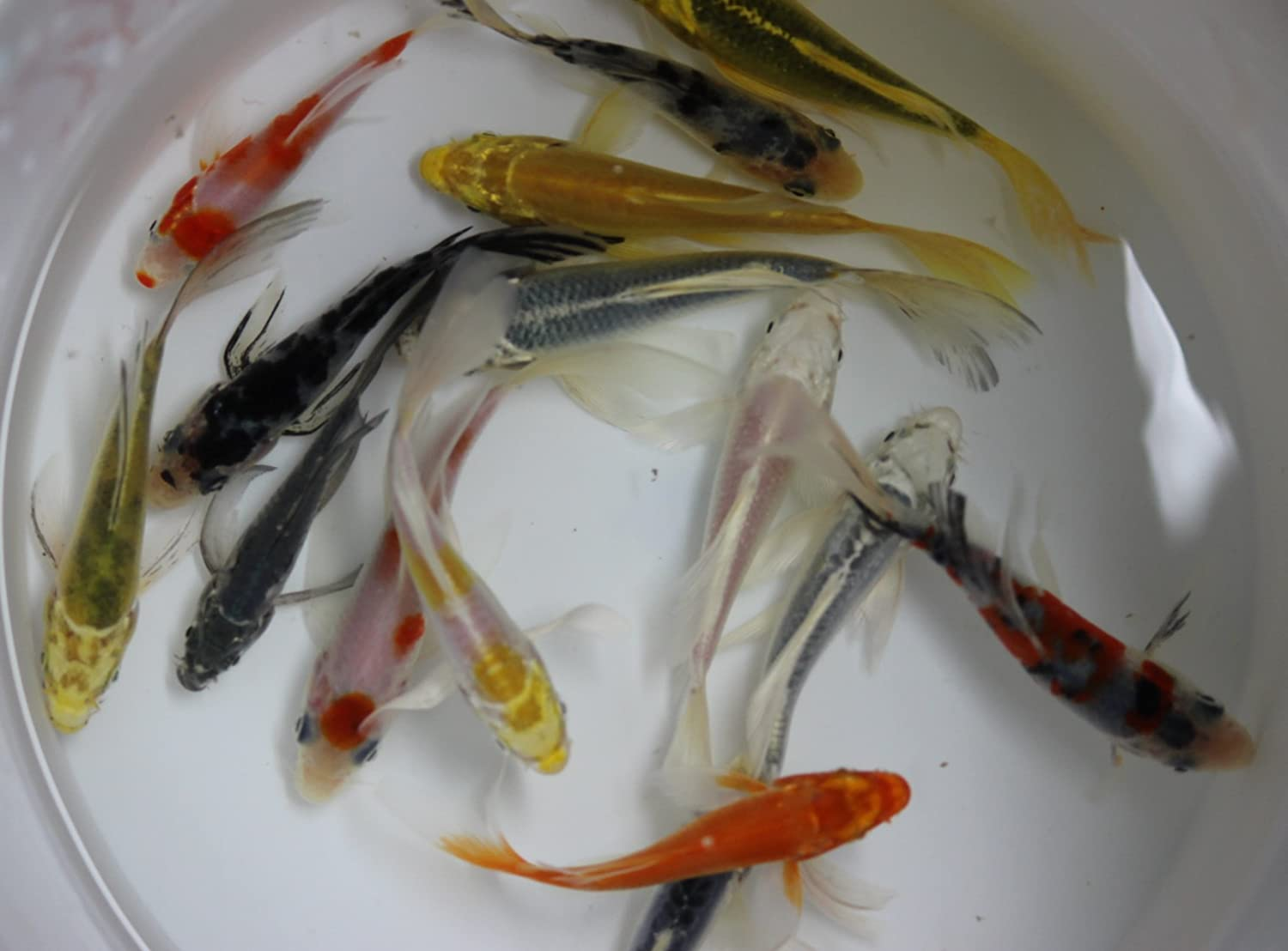 Amazon Com 5 Inch 5 Pack Butterfly Koi For Aquarium Fish Tank Or Koi Pond Pet Supplies