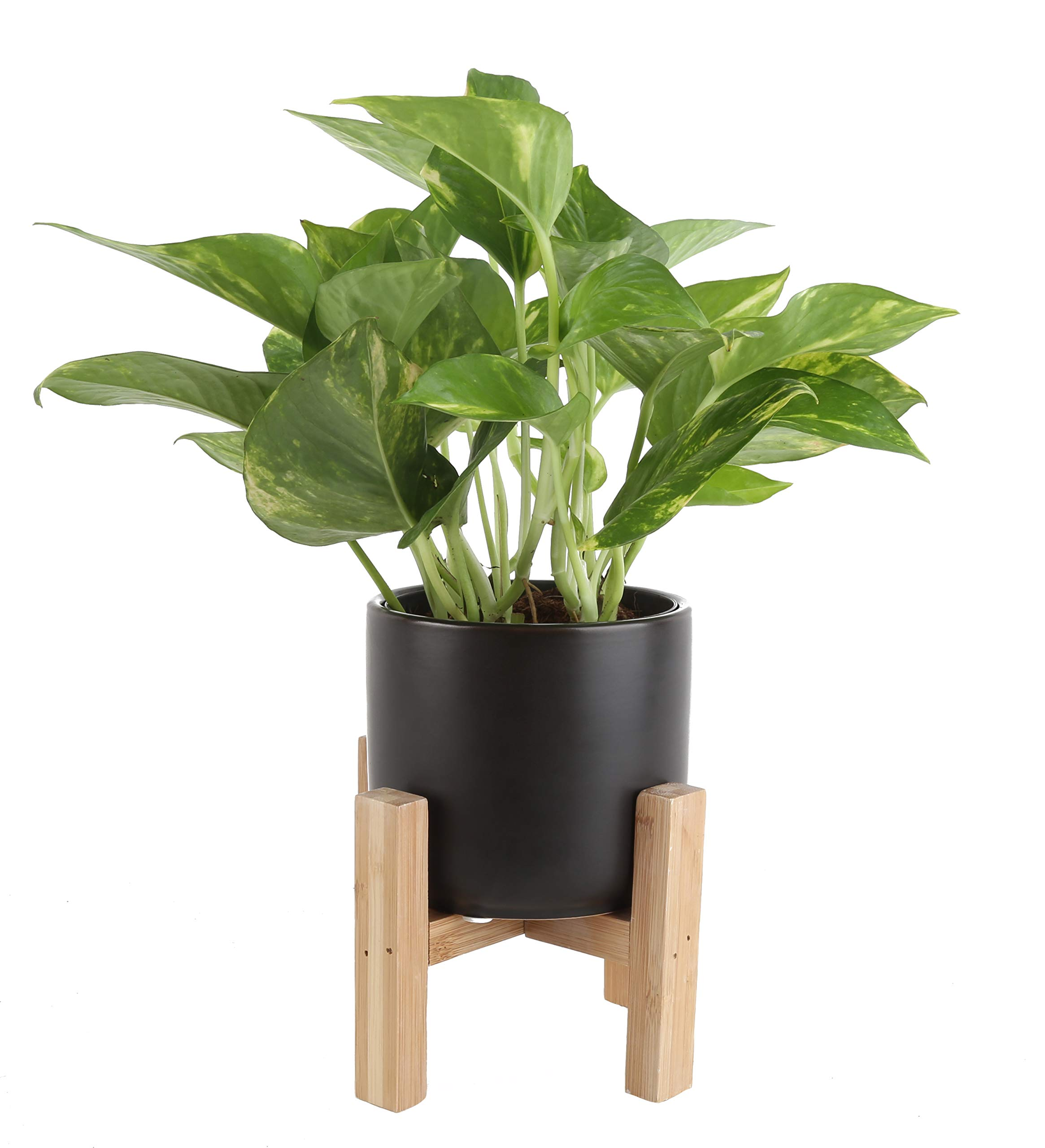 Costa Farms CO.GP04.13.PLSTD.BLK Devil's Ivy, Golden Pothos in Mid-Century Modern Planter and Plant Stand House, 4-inch, Green-Yellow