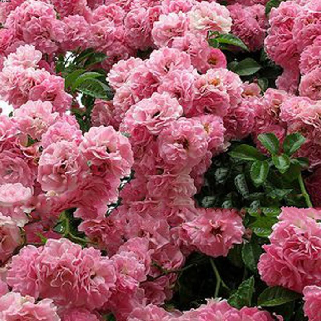 Fanala Giant Pink Sakura Cherry Tree Seeds Oriental Cherry Shrub Perennial Plants Flowers