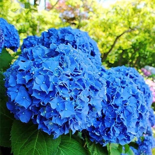 Ncient 100 Semillas de Hortensia Azul Semillas Flores Raras Aromaticas Plantas Bonsai para Maceta Jardín Balcon Interior y Exteriores: Amazon.es: Jardín