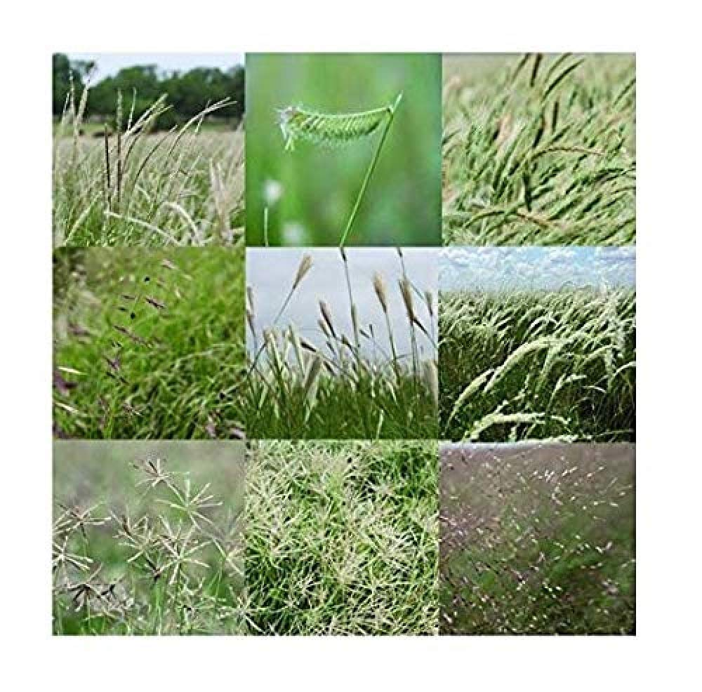 David's Garden Seeds Grass South Texas Native Grass Mix TZ9011 (Multi) Open Pollinated One Pound Package