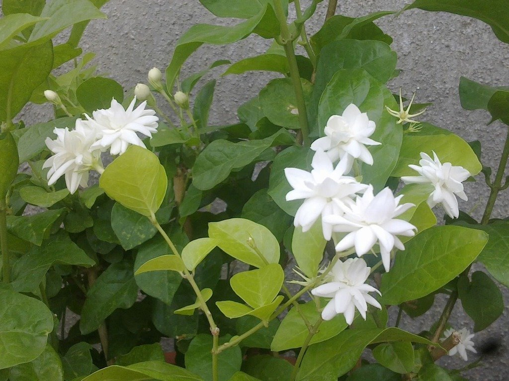 Siam garden live jasmine flower plant in pot amazon garden siam garden live jasmine flower plant in pot amazon garden outdoors izmirmasajfo