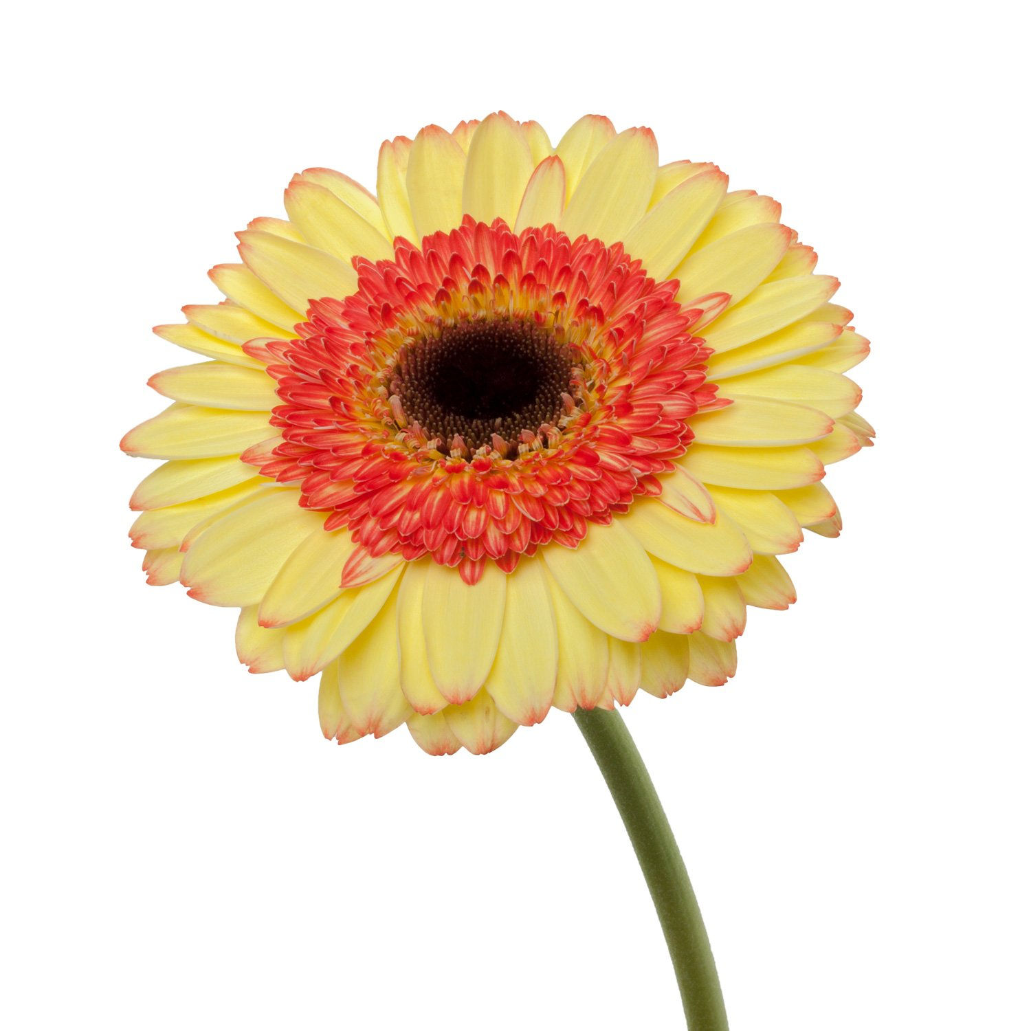 Gerbera Dark Center | BiColor - 80 Stem Count by Flower Farm Shop