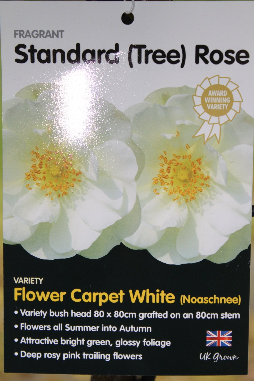 Standard Rose Tree Bush Variety Flower Carpet White 13m Tall
