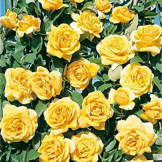 Fiori Gialli Rose.Clg Landora Rosa Rampicante In Vaso Di Rose Barni Pianta Di