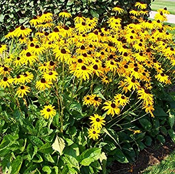 Amazon 1 perennial starter of rudbeckia black eyed susan 1 perennial starter of rudbeckia black eyed susan striking golden yellow daily like mightylinksfo