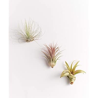 Shop Succulents Unique Air Plants (Collection of 3), 3: Garden & Outdoor