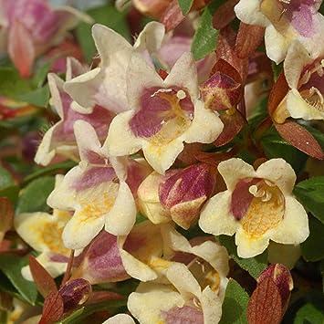 Abelia Outdoor Hardy Drought Tolerant Garden Shrub Ideal Compact