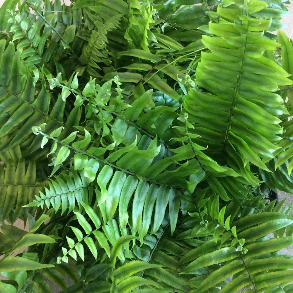 AMERICAN PLANT EXCHANGE Macho''Giant Sword'' Fern 1 Gallon Live Plant, 6'' Pot, Indoor/Outdoor Air Purifier! by AMERICAN PLANT EXCHANGE (Image #3)