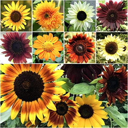 SUNFLOWER FLOWER GARDEN SEEDS VELVET QUEEN ANNUAL WILDFLOWER GARDENING SEEDS