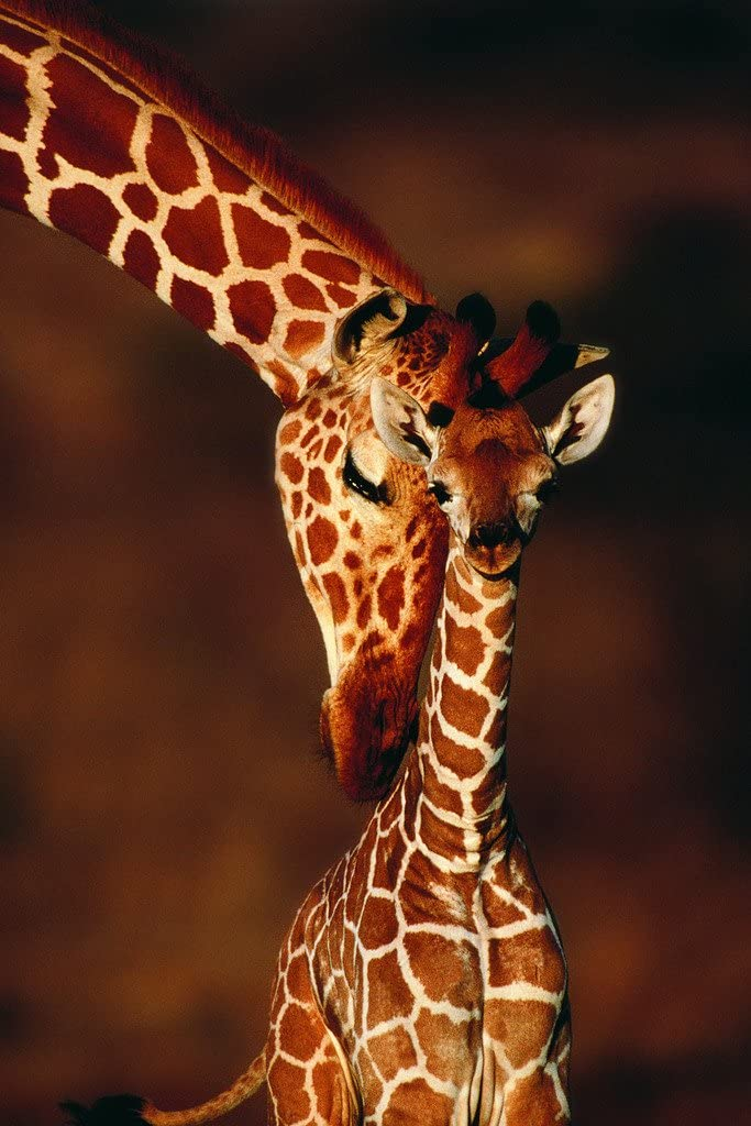 Adult Giraffe with Calf Photo Photograph Cool Wall Decor Art Print Poster 12x18