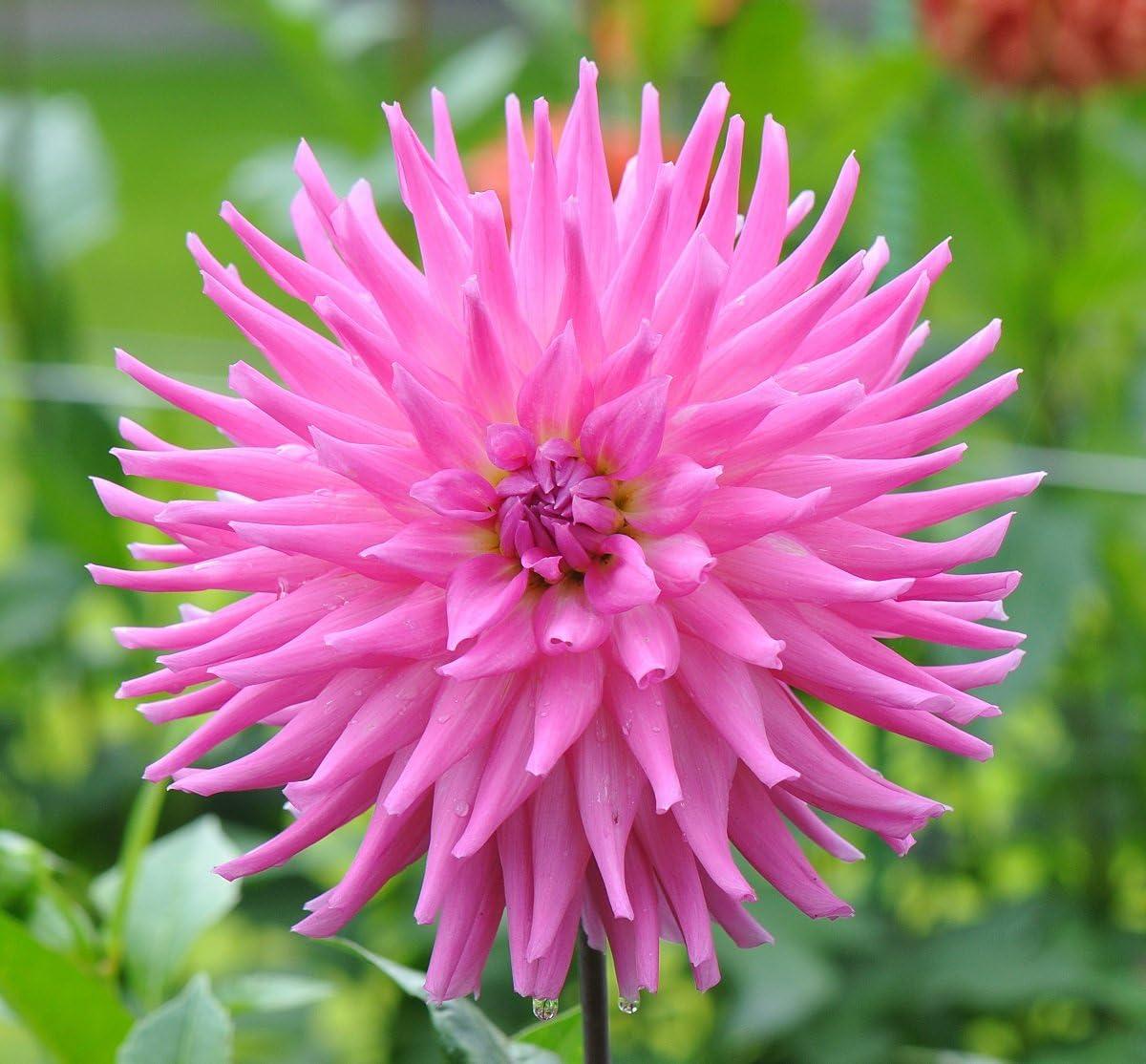 Blumenzwiebel//Knolle // Wurzel Georginen Cactus Pink Dahlien Dahlia