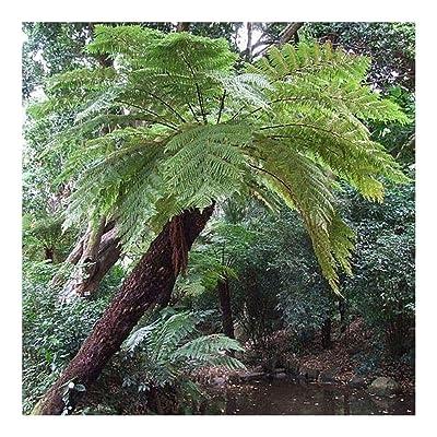 Cyathea dregei - Grassland Tree Fern - common tree fern - 50 seeds : Garden & Outdoor