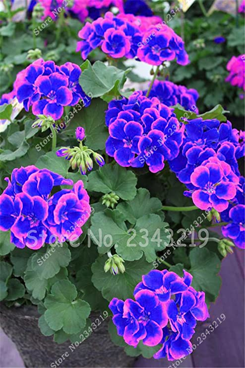 Nueva azules y rosas La plantación de geranios Semillas De Flores Raras doble Cplor jardín de 50 PC * bolsa de semillas Pelargonium barato Bonsai: Amazon.es: Jardín