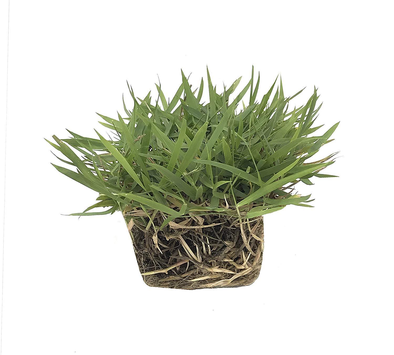 Zoysia Sod Plugs - Large 3'' x 3'' Plugs - 18 Count Tray - Drought, Salt & Shade Tolerant Turf Grass by Florida Foliage (Image #2)