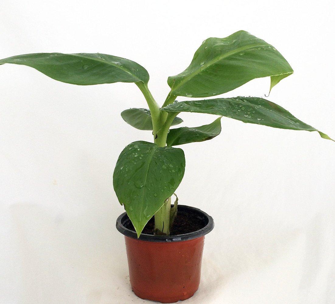 Grow Your Own Bananas