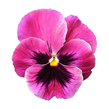 Pansy pink 20 seeds one of the largest pansy flowers amazon pansy pink 20 seeds one of the largest pansy flowers mightylinksfo