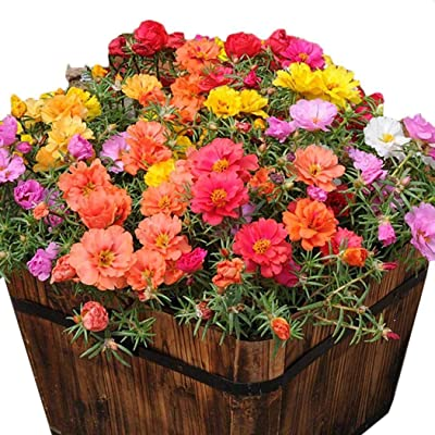 Caiuet Seed, 10000pcs/Pack Mixed Color Flower Seeds Ornamental Portulaca Grandiflora Flowers Seeds Bonsai Seeds for Home Garden Balcony Planting : Garden & Outdoor