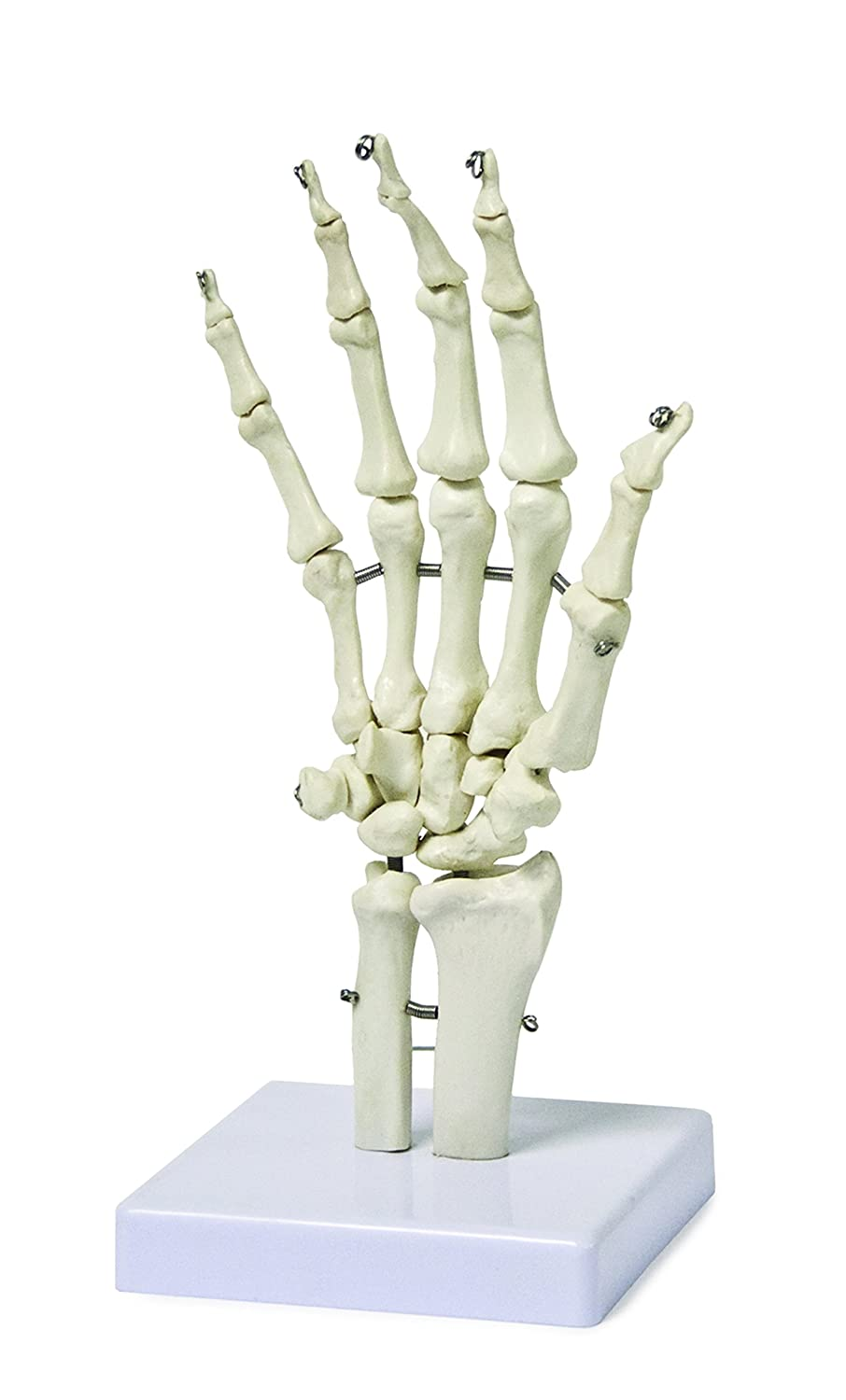 Vision Scientific VAJ210 Hand Bone Model | Fully Articulated | Shows Distal Portions of the Ulna and Radius | Flexible to Portray the Natural Movement