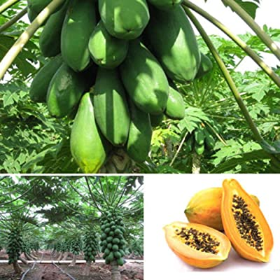 Papaya Seeds for Yard Gardening Plant, 8Pcs Sweet Papaya Seeds Fruits Home Melon Tree Plants Garden Bonsai Farm Decor - Papaya Seeds by Mosichi : Garden & Outdoor