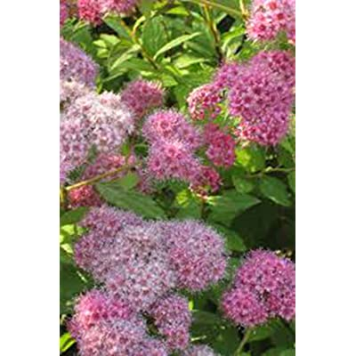 Spiraea Japonica, Gold Mound, Spirea Bush, (1) 3 yr Gallon, Ornamental Bushm Bush, Shrub, Flowering Bush, Flower, Flowers, Live Plant, Live Plants, Plant, Bush : Garden & Outdoor