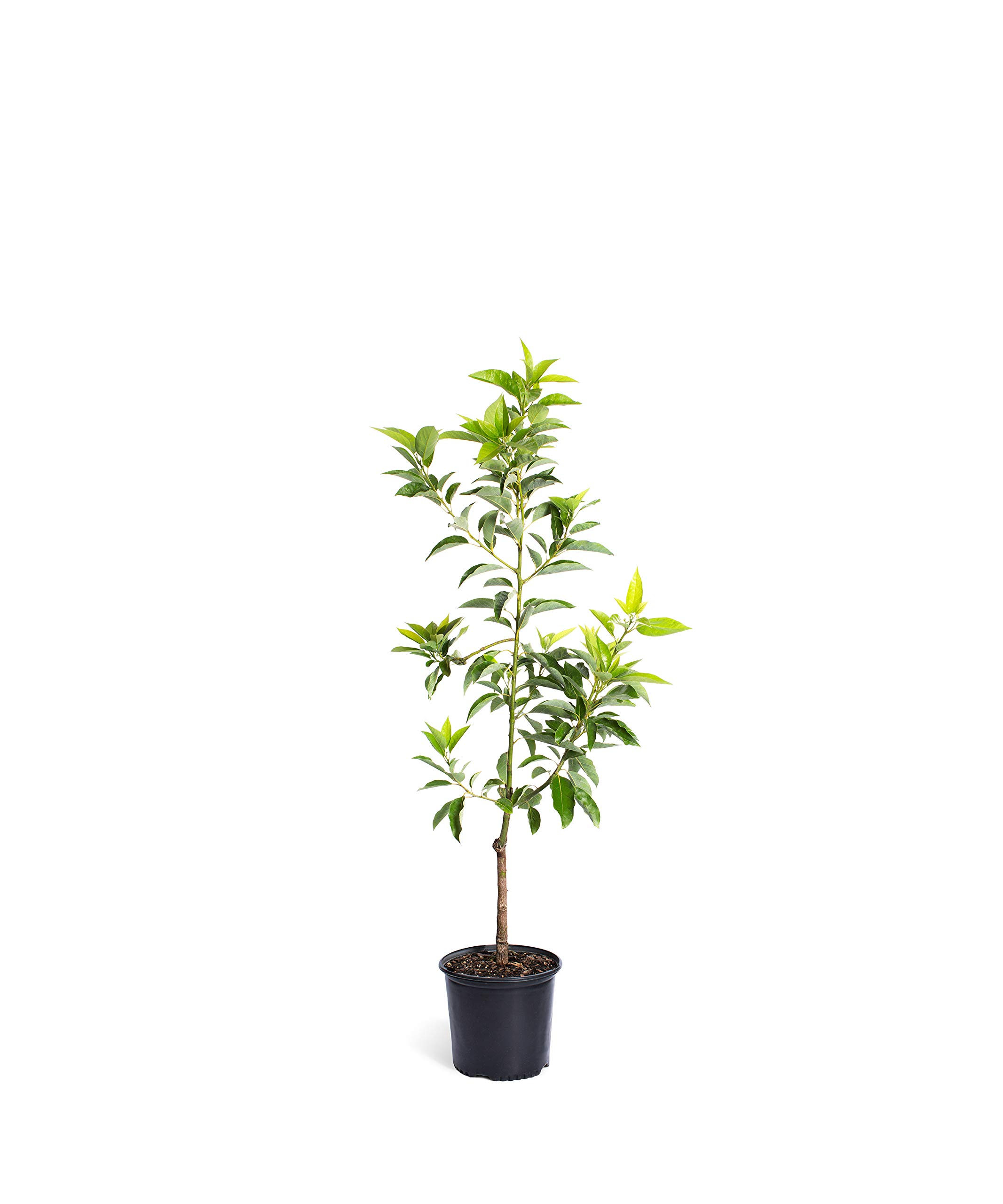 Cold Hardy Avocado Tree - (Mexicola Grande) - Get Delicious Avocados Year Round from This Fruit Tree by Brighter Blooms Nursery - 3-4 ft. | NO Shipping to Arizona