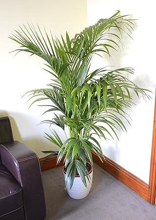 palmier kentia interieur