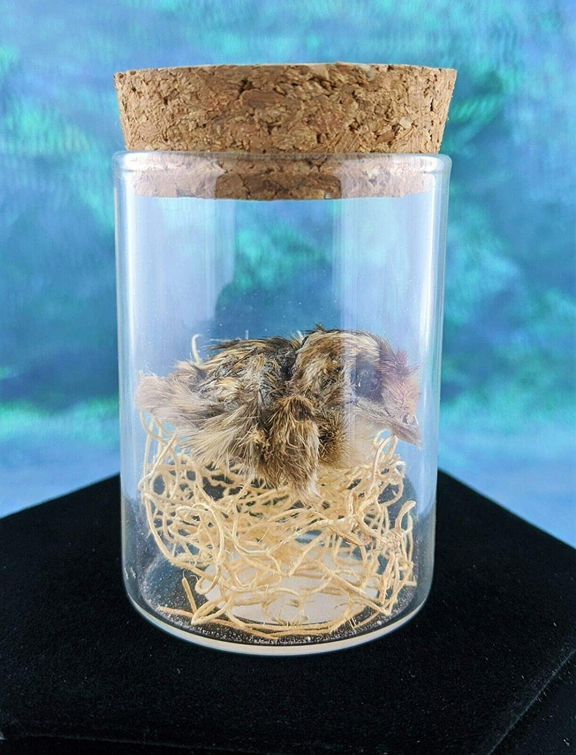 i12c  Taxidermy Mummified Quail Chick showcased in glass display bottle specimen collectible curiosity cabinet