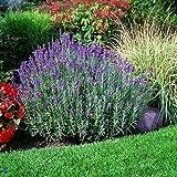 Lavender 'Hidcote Blue' - Size: 1 Gallon (Lavandula angustifolia 'Hidcote Blue')