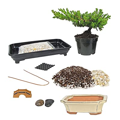 Eve's Deluxe Bonsai Tree Starter Kit, Complete Do-It-Yourself Kit with 6 Year Old Small Japanese Juniper: Garden & Outdoor