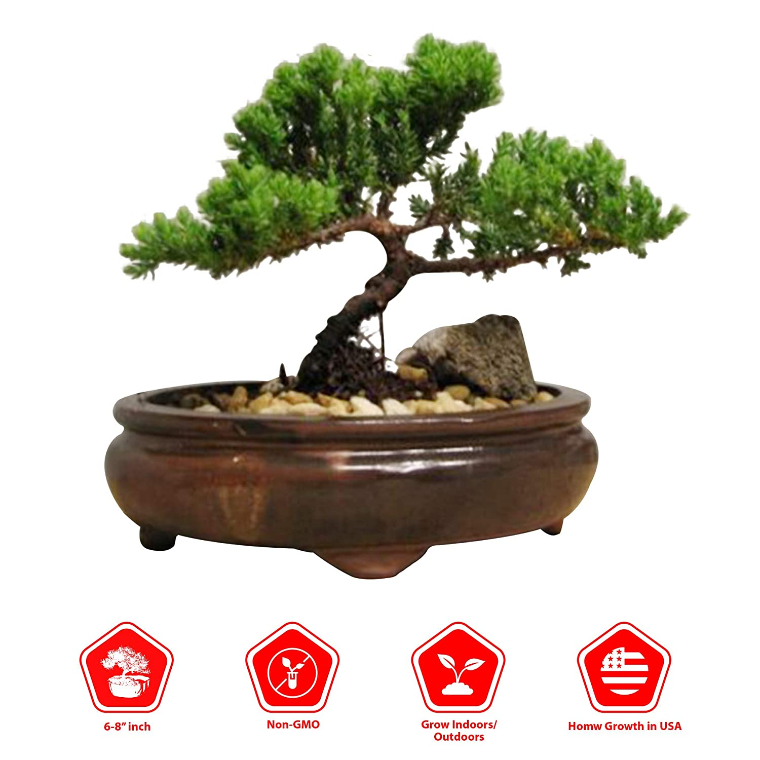 9GreenBox Bonsai Juniper Tree - Japanese Art Live House Plants for Indoor and Outdoor Garden - Dwarf Trees in Container Pot for Home and Office Decor - Best Gift for Mothers Day, Christmas - 4 Pounds 71hBzTnzthL