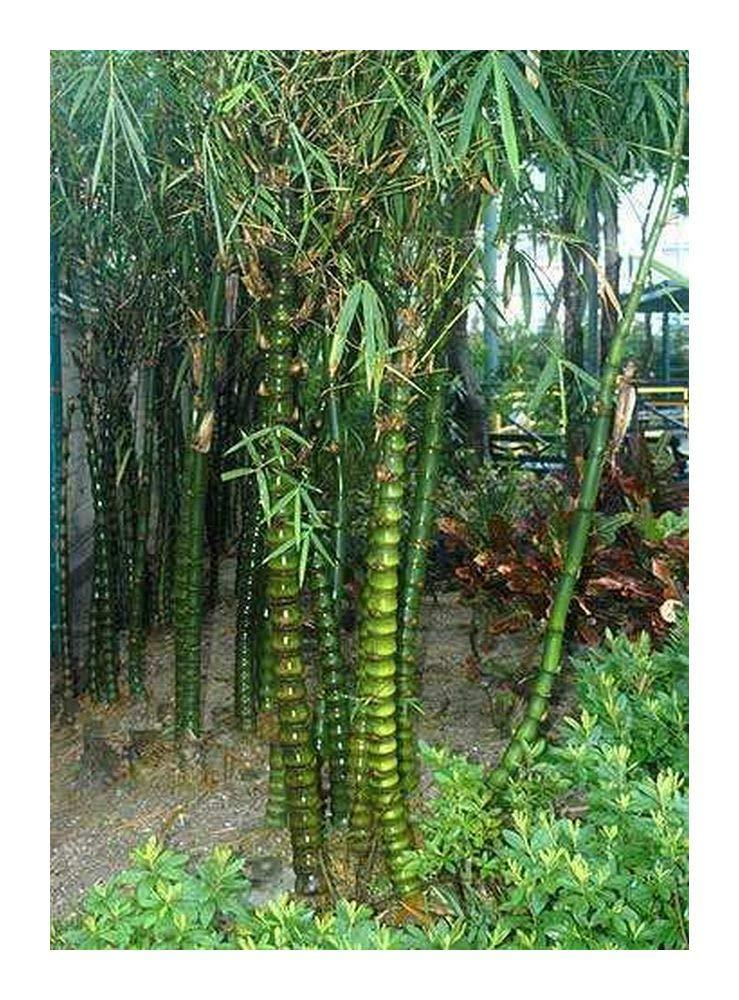 Bambusa ventricosa - bambú de Buda - 15 semillas Exotic Plants