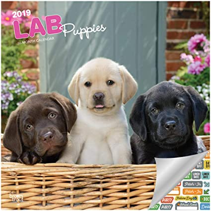 Amazoncom Labrador Retriever Puppies Calendar 2019 Set Deluxe