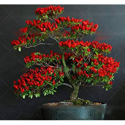 100pcs/bag Giant Spices Spicy Red Chili Hot Pepper Seeds Plants Garden Supplies Long red Pepper Seeds Vegetables Garden Plant : Garden & Outdoor