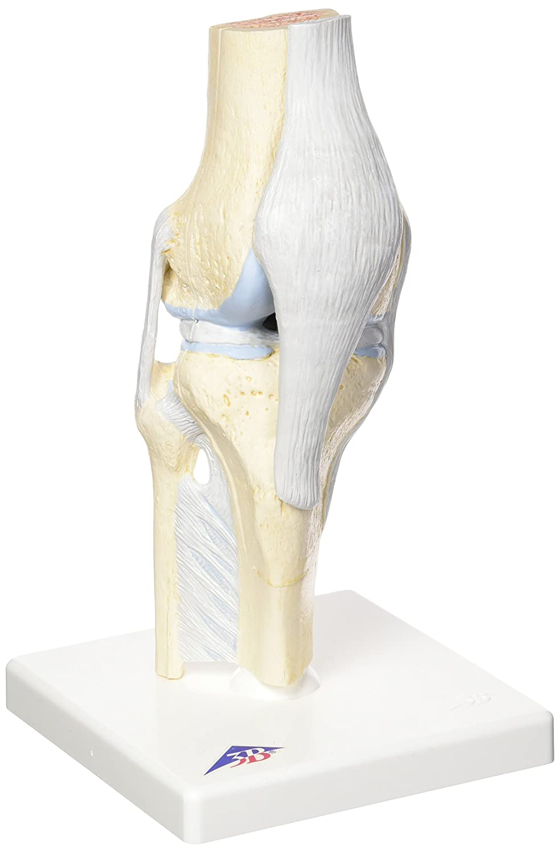3B Scientific Menschliche Anatomie - Gelenkschnitt-Modell des Knies ...